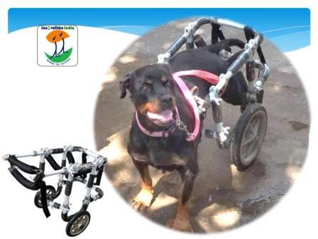Innovation India Rottweiler dog wheelchair for handicapped